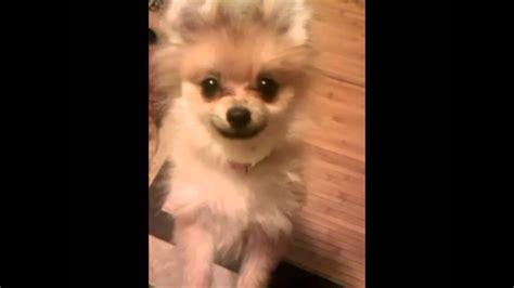 chewys pomeranian puppy uglies youtube