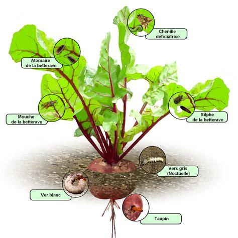 cuisiner les feuilles de betteraves rouges betterave culture bio variétés