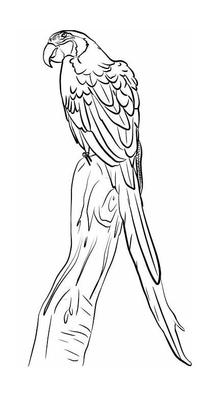 Macaw Rama Ara Coloring Flying Dibujos Branch
