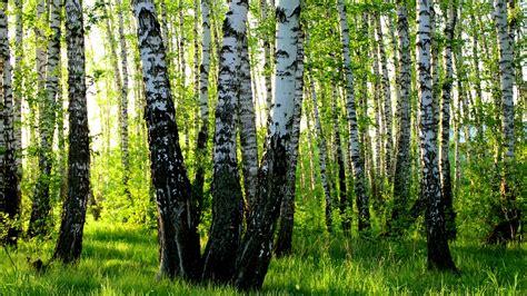 wallpaper birch grove summer forest  hd picture