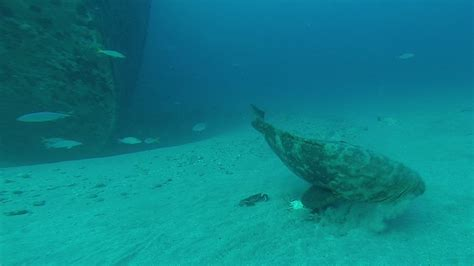 goliath grouper diet spearboard crabs research menu spearfishing edited last