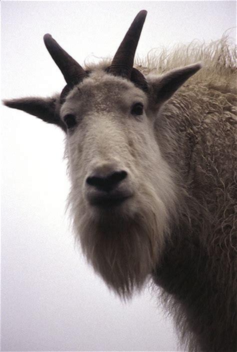goats beard dean robert blog my no shave novem beard