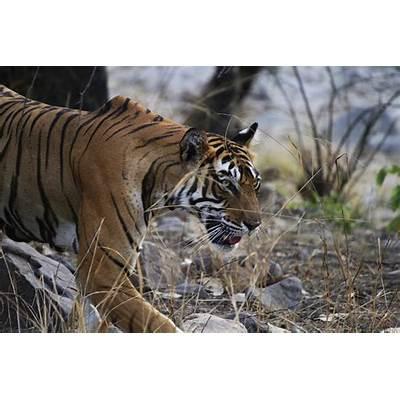 Image of Tiger at Ranthambore National Park – My India