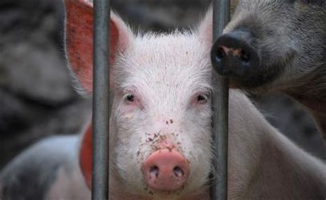 pork  safe     queasy   route