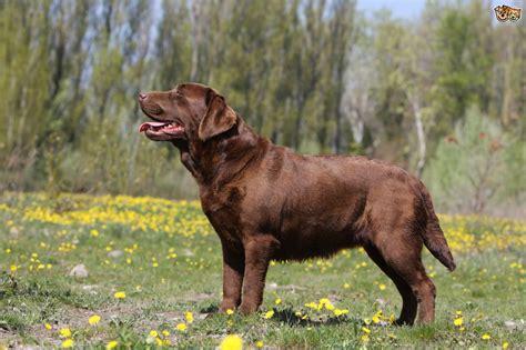 All About The Labrador Retriever