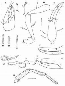 Chelanops Gracilipalpus Sp  N   9  Left Chelicera Of