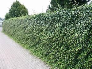 Kletterpflanzen Immergrün Winterhart : gro bl ttriger irischer efeu hedera hibernica ~ Michelbontemps.com Haus und Dekorationen