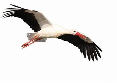 Burung Gambar Murai Kartun Bangau Batu Via