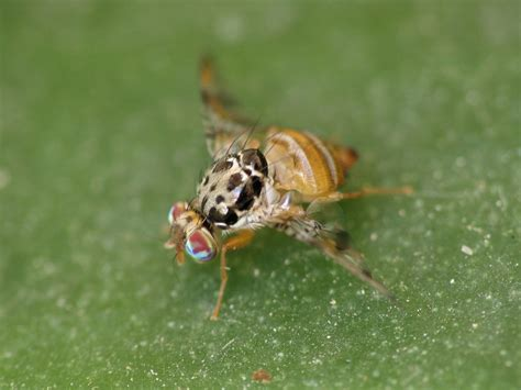 http://www.pir.sa.gov.au/biosecurity/fruit_fly/fruit_fly_watch