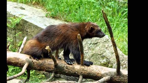 Wolverine Animal Wisconsin