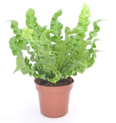Zimmerpflanze Schmal Hoch by Zimmerpflanze F 252 R Jedes Zimmer Passend Ausw 228 Hlen Tipps