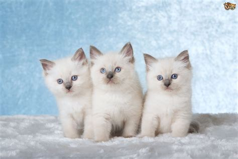 Looking For A Kitten (ragdoll)  Bradford, West Yorkshire