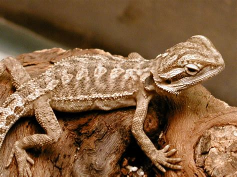 what kind of heat l for bearded dragon bearded dragon basic care god 39 s creatures