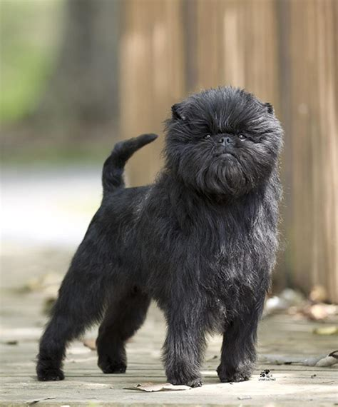 Affenpinscher Dogs Breeds Tipo Pinscher Y Schnauzer Pets