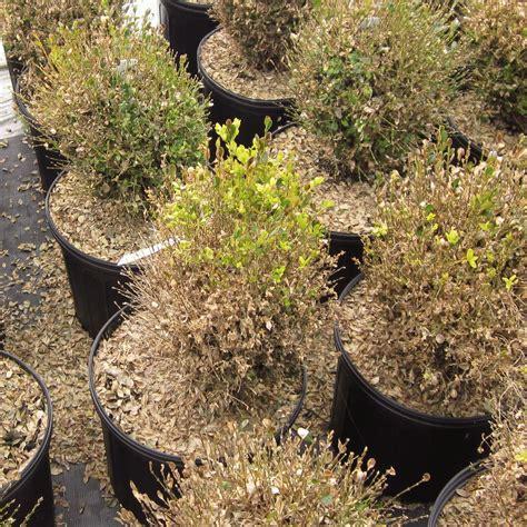 boxwood blight cylindrocladium pseudonaviculatum
