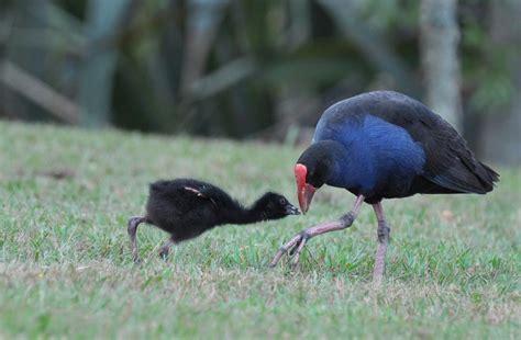 New Zealand Bird Pukeko