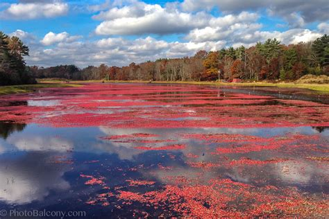 The Blog About The Bog  Learn About Harvesting Cranberries