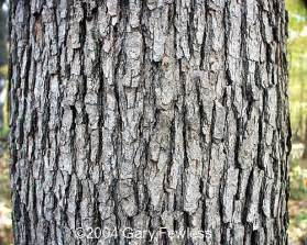 trees of wisconsin quercus alba white oak