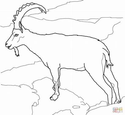 Goat Coloring Pages Nubian Ibex Goats Drawing