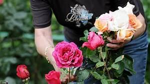 Wie Pflege Ich Hortensien : wie pflege schneide und d nge ich die rosen korrekt st ~ A.2002-acura-tl-radio.info Haus und Dekorationen