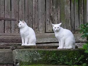 Achat Vinaigre Blanc En Gros : blanc robe de chat wikip dia ~ Melissatoandfro.com Idées de Décoration