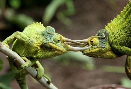 chameleons changing colors reptile facts rhhotheca chameleons evolved color