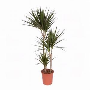 Marc De Café Plantes D Intérieur : dracaena marginata 3 pieds plantes et jardins ~ Melissatoandfro.com Idées de Décoration