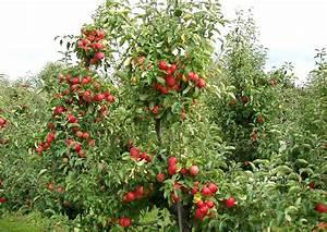 Apfelbaum Für Balkon : apfel malus domestica ~ Michelbontemps.com Haus und Dekorationen