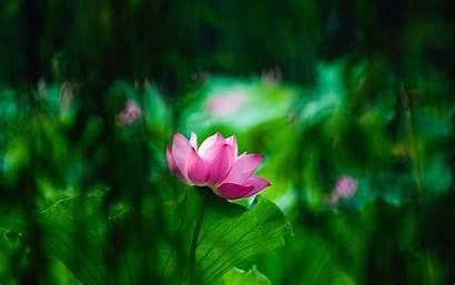 Lotus 4k Macro Wallpapers Blur Leaves Bloom