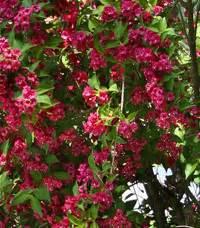 Arbuste Fleuri En Pot : cr er une haie fleurie quels arbustes choisir ~ Premium-room.com Idées de Décoration