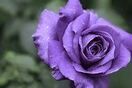 Pinterest Purple Rose
