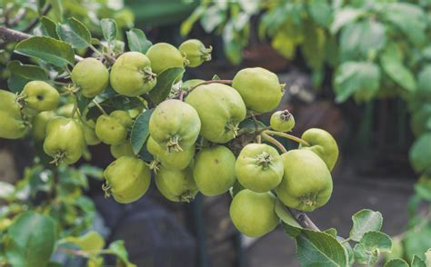 Apple Thinning Guide - Learn How To Thin Apple Fruit From ...
