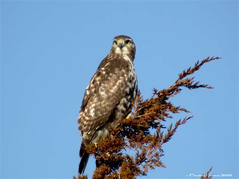 immature red tail hawk pamela leavey