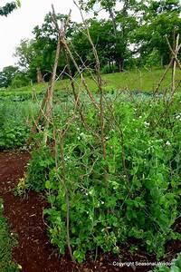 die besten 17 ideen zu erbsen anbauen auf pinterest With katzennetz balkon mit garden sweet pea