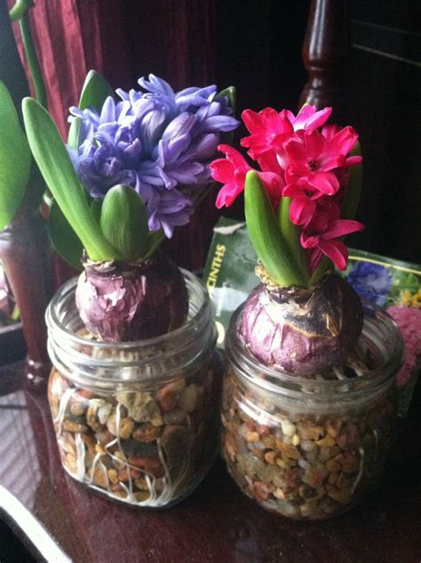 forced bulbs forcing hyacinth bulbs indoors is easy add small gravel to a mason jar fill with water and