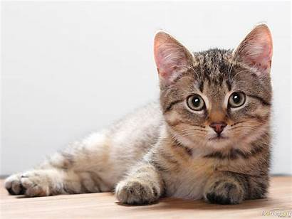 Cat Wallpapers Cats Animal Domestic Kitten Kittens