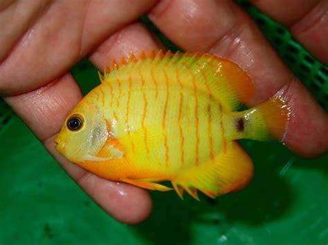 xanthic angelfish
