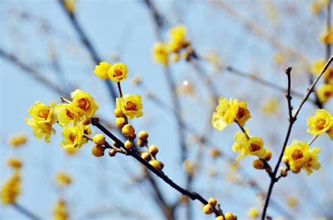 fiore calicanto calicanto dinverno fiore invernale