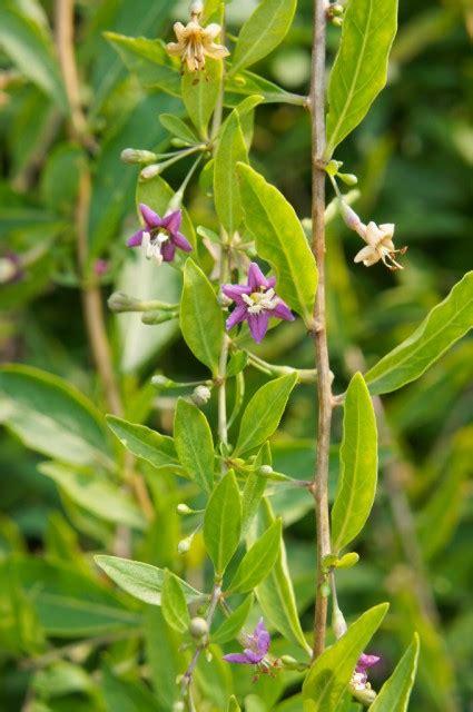 zimmerpflanze große blätter zimmerpflanze rote blattunterseite
