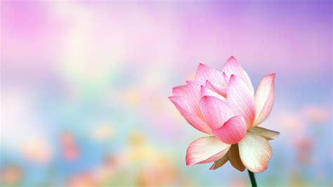 Lotus Flower Theme Most Beautiful Background