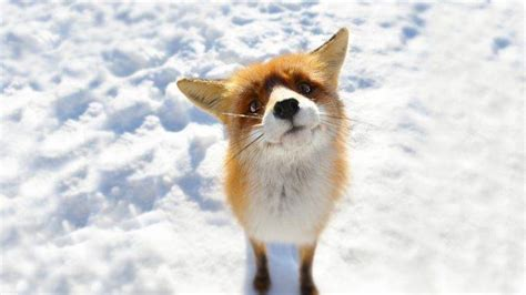 Anime Animal Wallpaper - anime snow fox animals wallpapers hd desktop and