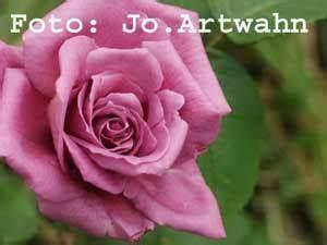 Mainzer Fastnacht Rose : mainzer fastnacht rosen ~ Orissabook.com Haus und Dekorationen