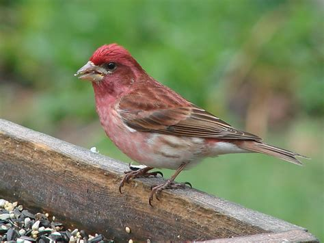 tails of birding winter finches purple finch