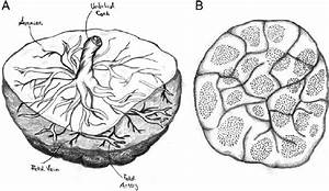 Anatomy Of Human Placenta  A  Fetal Side  The Amnion
