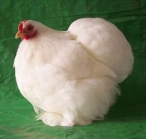 Cochin (Pekin) Bantam Chicken Breed Information: Chicken ...