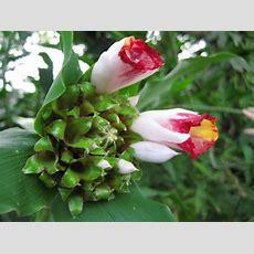 Tropical Costaceae Lucanusianus Fragrant Rose Plant 20 Cm