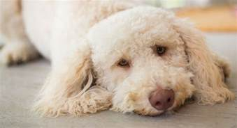 Do Non Allergenic Dogs Shed by Hypoallergenic Dogs The Facts About Non Shedding Breeds