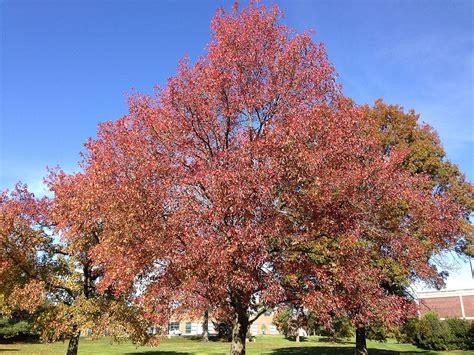 sweet gum tree liquidambar styraciflua wikipedia