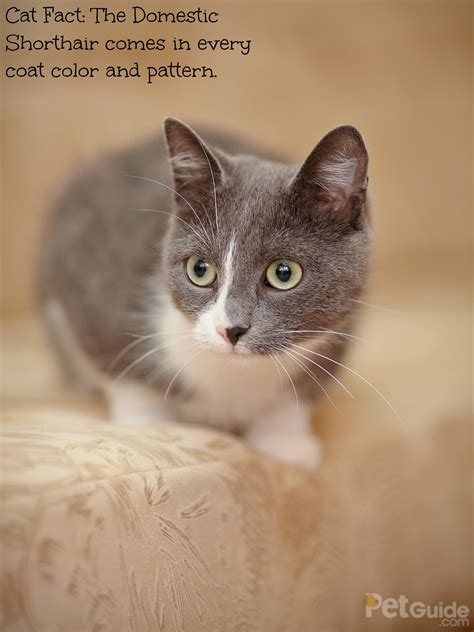 domestic shorthair cat breeds american dsh breed kitten different weight cute strong down patterns colors average petguide does dog tracking