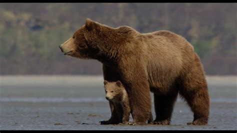 disneynatures bears official trailer youtube